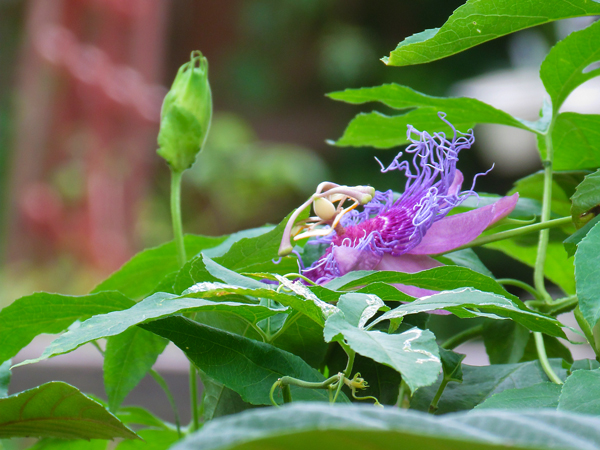silly-passion-flower