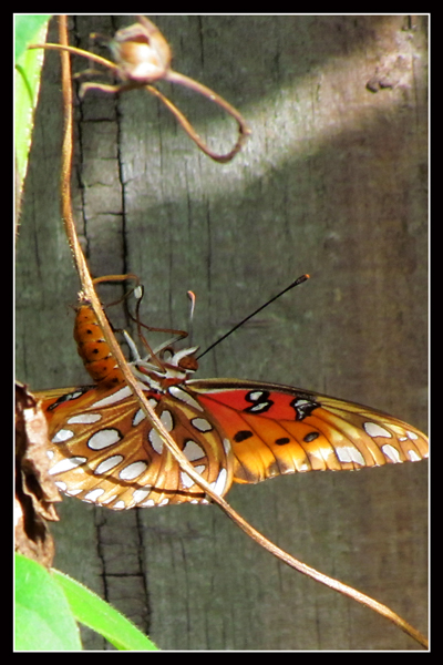 Gulf Fritillary laying eggs