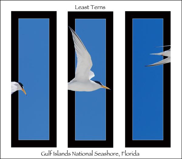 Least Tern Triptych