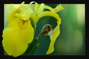 yellow-iris-escape