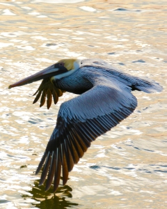 pelican-over-golden-water