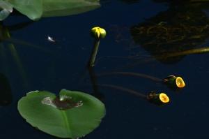 lotus-AM-park