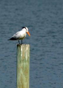 royal-tern