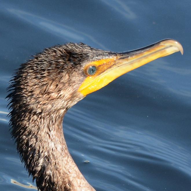 cormorant-1
