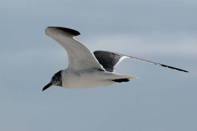 laughing-gull