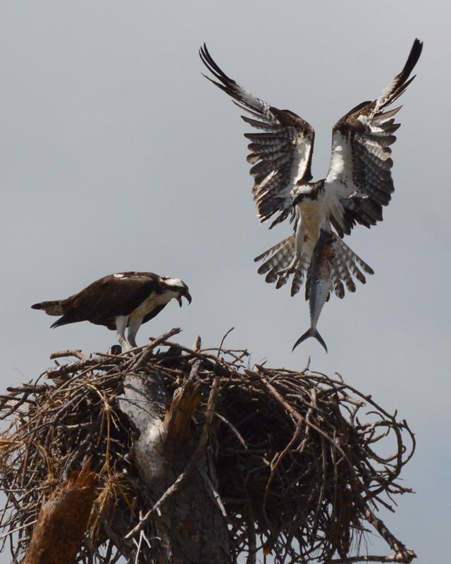 osprey-with-big-fish