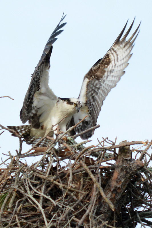 working-on-his-nest-building-skills