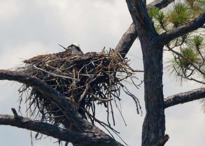 on-the-nest-osprey-(a)