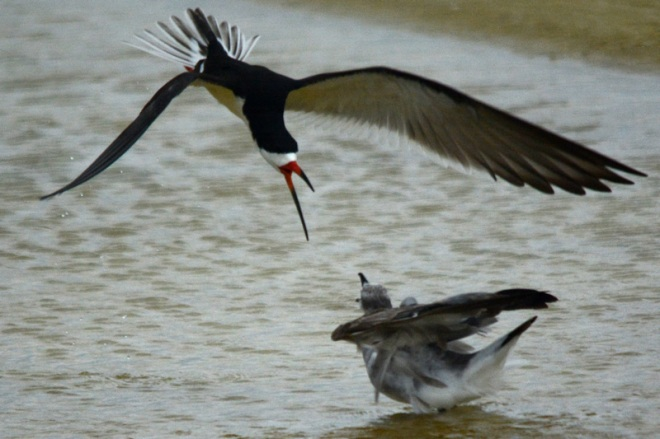 don't-mess-with-an-angry-skimmer