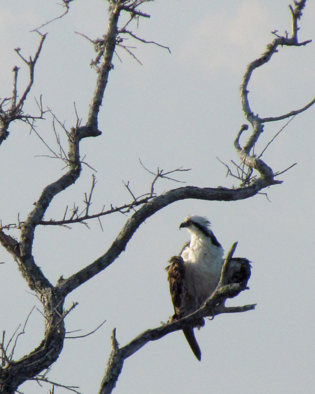 the-last-osprey-of-the-season