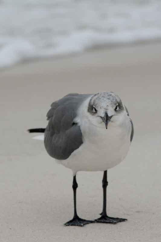 gull-stare