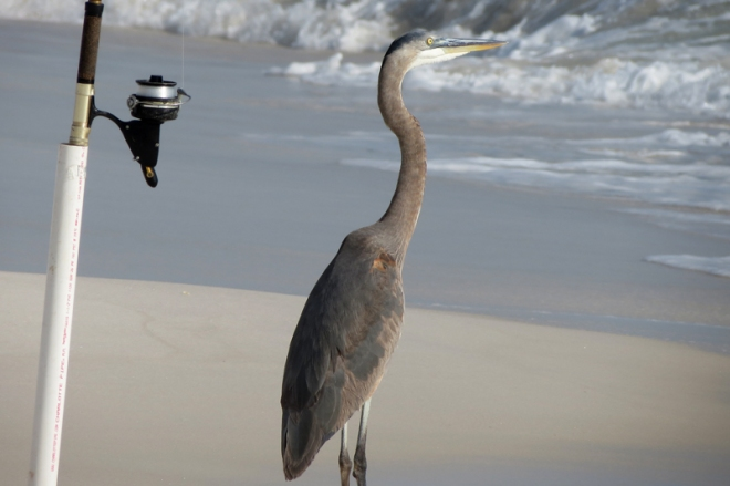 fishing-heron