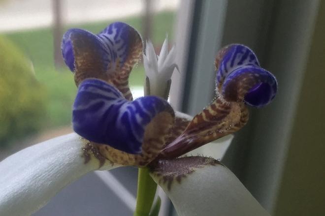 c-u-iris