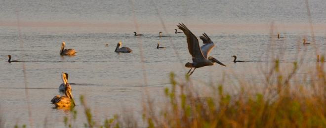 pelis-&-cormorants
