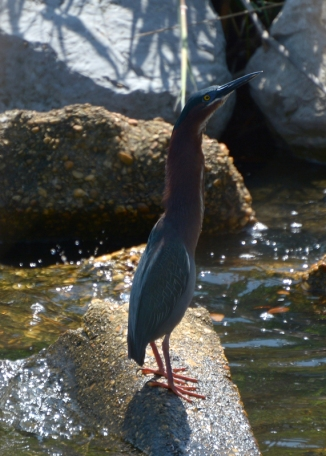 green-heron-2-pretend-you-don't-see-me