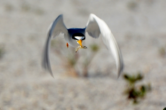 head-on-Tern