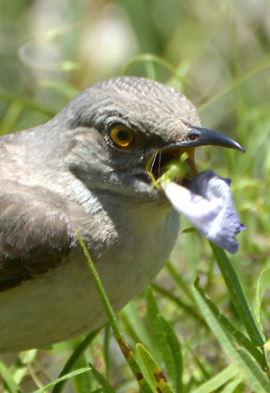 mockingbird-eating-a-flower