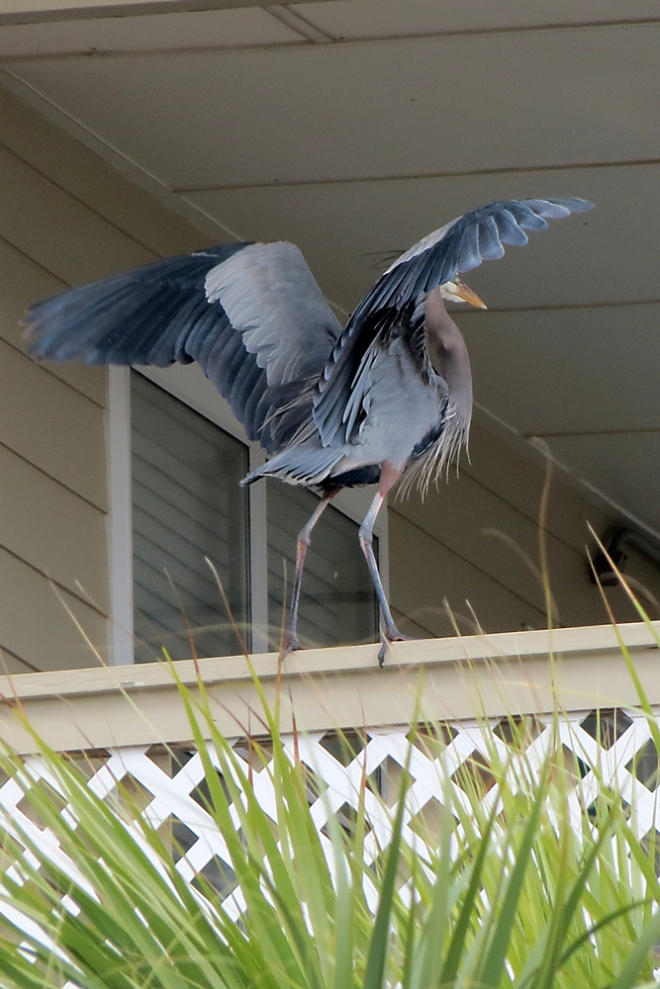this-is-why-they're-called-Great-Blue-Herons