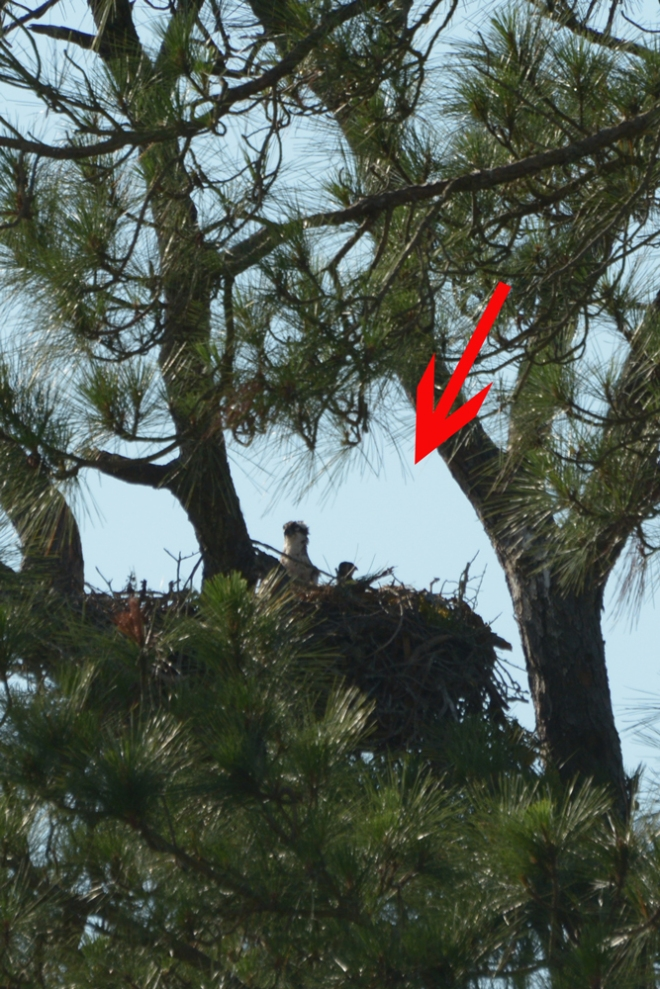 1st-osprey-chick-of-2018