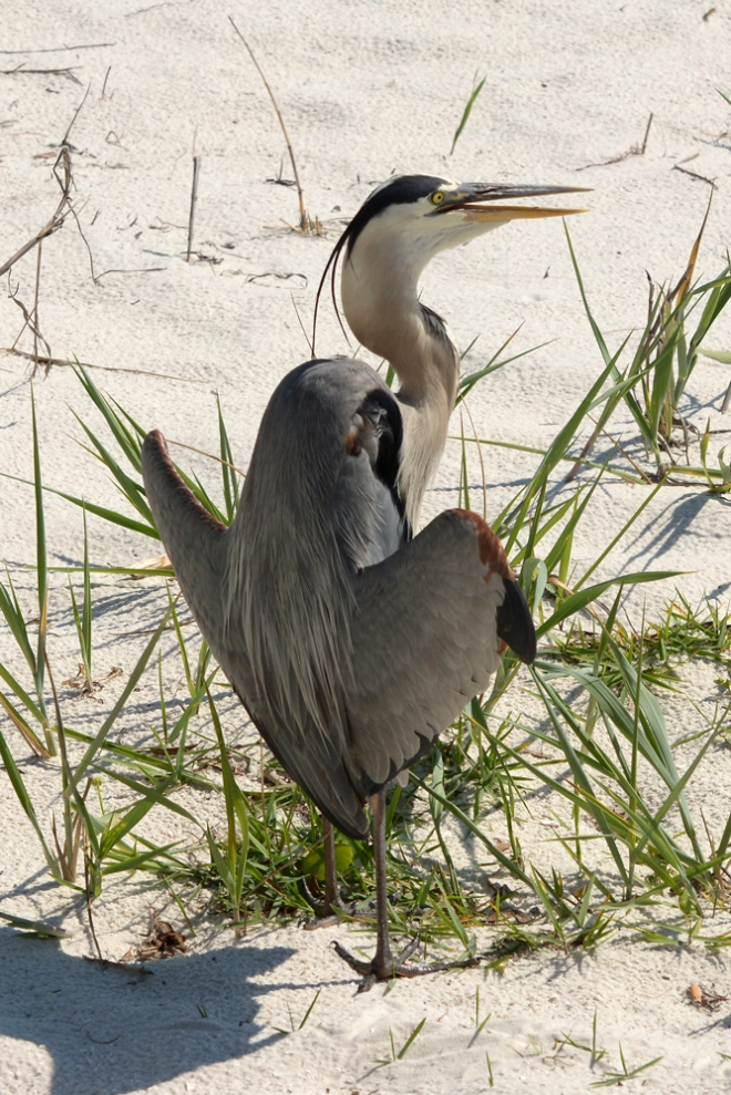 flasher-heron