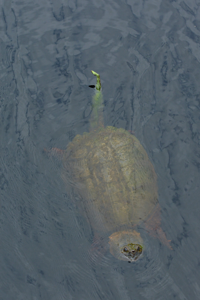 big-turtle