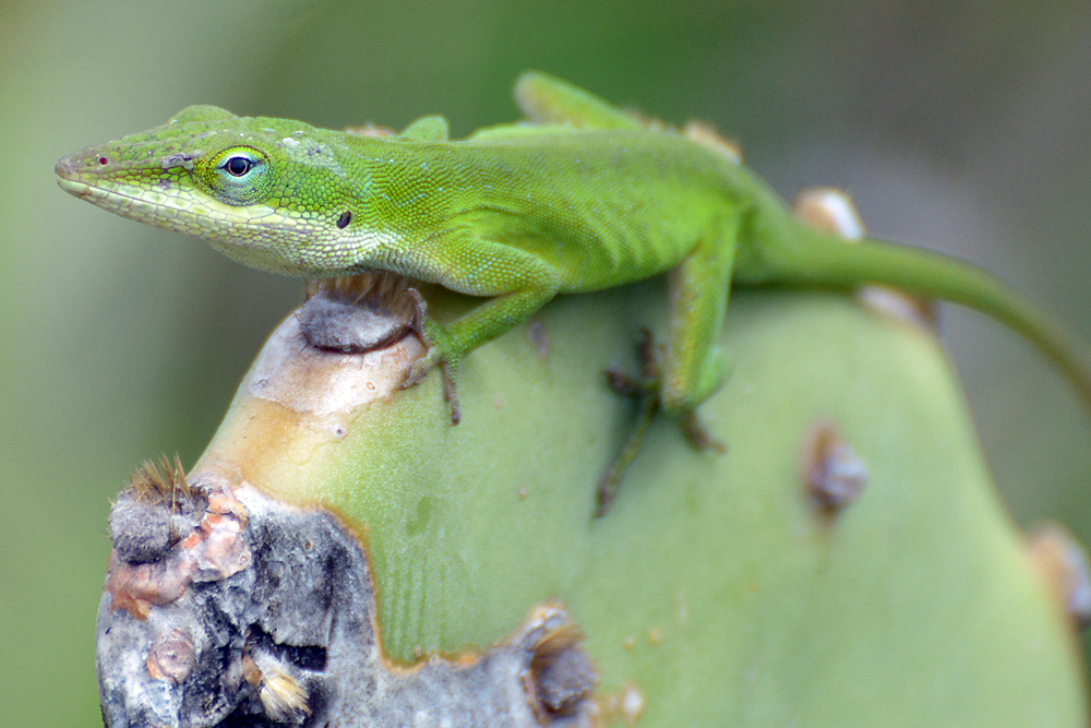 anole-on-cactus