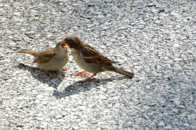 house sparrow feeding the kid